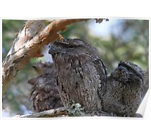 Frogmouth Family Poster