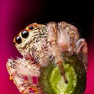 (Servaea vestita) Jumping Spider On Flower #3 by Kerrod Sulter