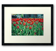 Tulips in Trondheim, Norway Framed Print