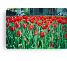 Tulips in Trondheim, Norway Canvas Print