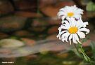Beautiful daisies by Elizabeth Kendall