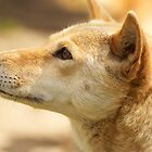 Australian Dingo by AngelaHumphries