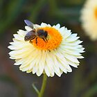 Tasty Daisy by Paulscho