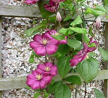 Trailing Clematis by Kaye Miller-Dewing