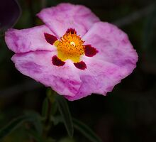 Rock Rose (Cistaceae) by Elaine Teague