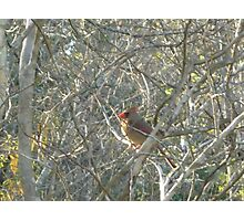 Female Cardinal Bird Camouflage Photographic Print