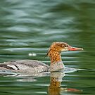 Merganser by Daniel  Parent