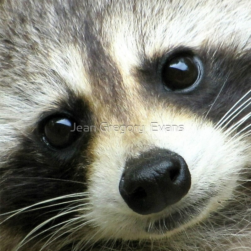 """Sweet Face"" Photographic Prints by Jean Gregory Evans ... Raccoon Face"