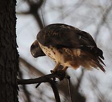 Young Redtail Hawk Looking For Squirrel by Thomas Mckibben