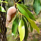 Mystery Native Fruit: Xylomelum pyriforme - woody pear. by George Petrovsky