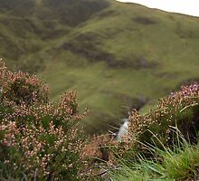 Hillside Heather by Iain McGillivray
