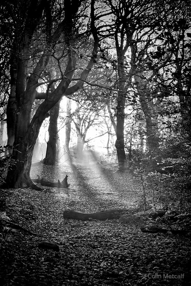 Chevin Forest Park #2 Mono by Colin Metcalf