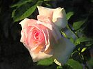 Tapestry Rose by RC deWinter
