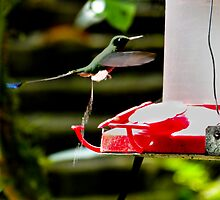 Hummingbird Business by Al Bourassa