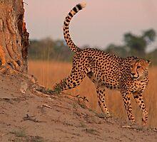 Feline beauty by Dan MacKenzie