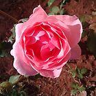 Pink Rose by mangagkakawatak
