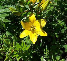 Yellow Lilly by Brady Harness