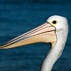 Pelican by BenClarkImagery