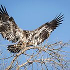 Juvenile Eagle 2015-8 by Thomas Young