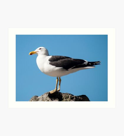 black back gull Art Print