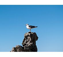 black back gull Photographic Print