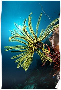 Feather star, Wakatobi National Park, Indonesia by Erik Schlogl