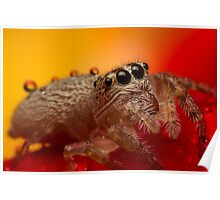 (Servaea vestita) Jumping Spider On Rose #3 Poster