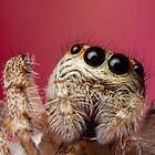 (Servaea vestita) Jumping Spider On Flower #4 by Kerrod Sulter