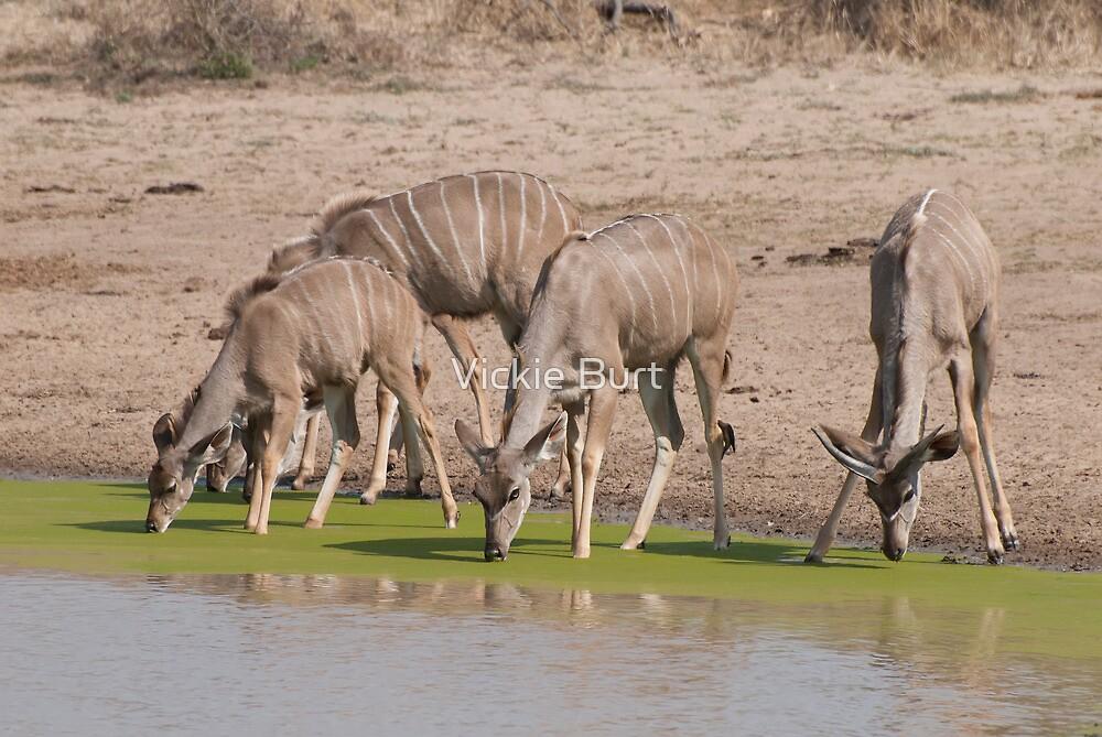 Greater Kudu drinking at a pan by Vickie Burt