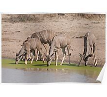 Greater Kudu drinking at a pan Poster