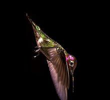 Anna's Hummingbird by kajovog