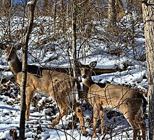 Pennsylvania Deer in Winter by wjwphotography