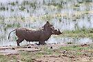 """""""That was good!!!"""" Warthog After a Mud Bath by Carole-Anne"""