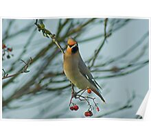 The Waxwing And The Berry #1 Poster
