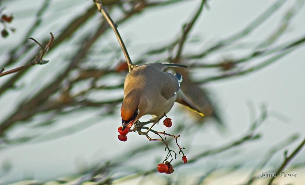 The Waxwing And The Berry #2 by Jamie  Green
