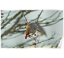 The Waxwing And The Berry #2 Poster