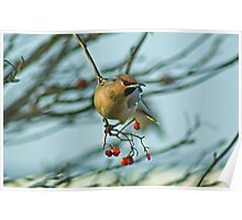 The Waxwing And The Berry #3 Poster
