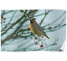 The Waxwing And The Berry #6 Poster