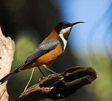 Eastern Spinebill   by Leslie-Ann