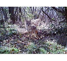 The Attentive Coyote Photographic Print