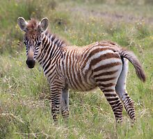 Zebra Foal by Jane Horton