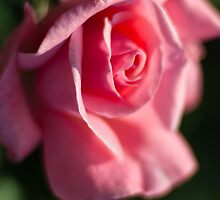 Rose #191 by BH Neely