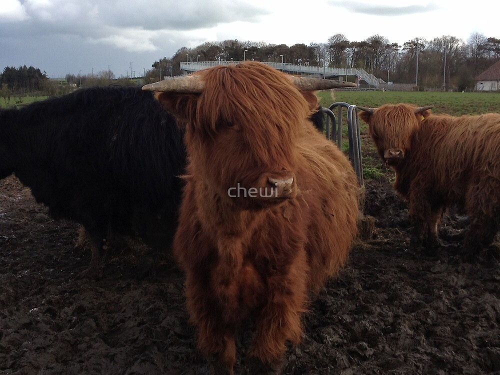 Highland Cow 1 by chewi