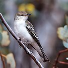 White-winged Triller by Robert Elliott