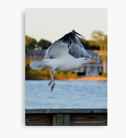 Larus Occidentalis - Western Gull | Center Moriches, New York  Canvas Print