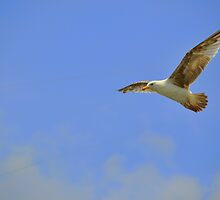 Seagull flying by Haz Preena