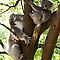 Mother & Son Koalas by GP1746