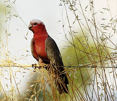 Galah Female by Kym Bradley