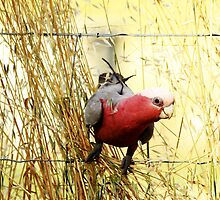 This is my best side  Male Galah by Kym Bradley