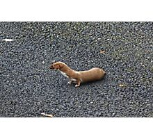 Weasel Photographic Print